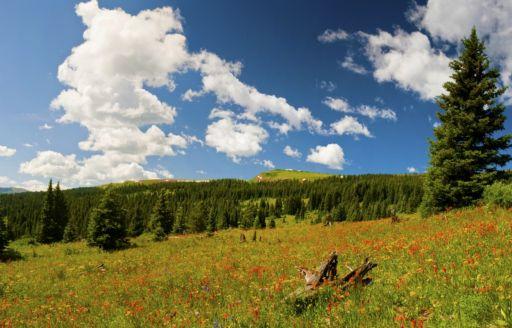 Colorado-wildflowers