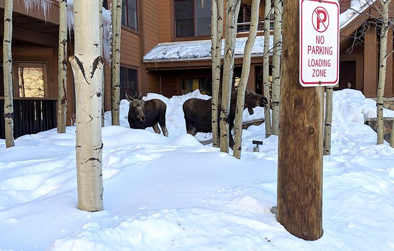 The Springs Moose Sighting